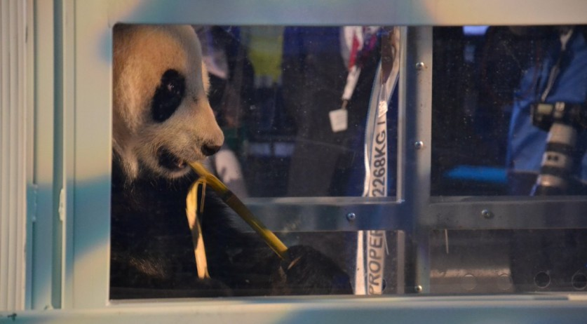 Giant pandas Wu Wen and Xing Ya arrived in the Netherlands on 12 Apr 2017
