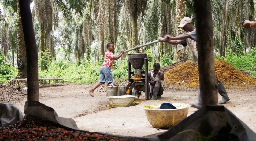 Palm oil harvesting in Liberia