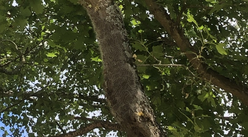 A Dutch tourist snapped this photo of thousands of oak processionary caterpillars covering a tree at a campsite in Volstroff, France. June 17, 2019