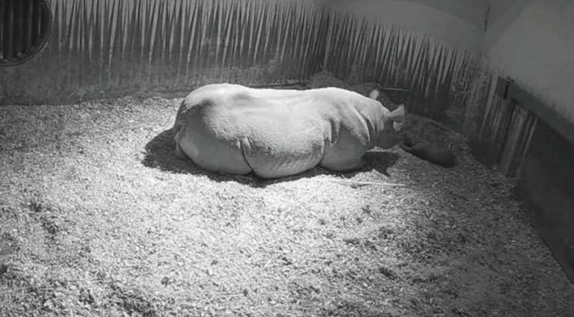 Black rhino born at Diergaard Blijdorp in Rotterdam, 8 November 2020