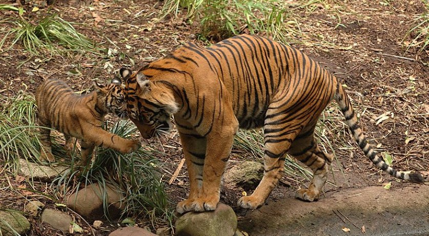 A Sumatran tiger and her cub in Melbourne Zoo, Australia (Source: Wikimedia/Ghouston)