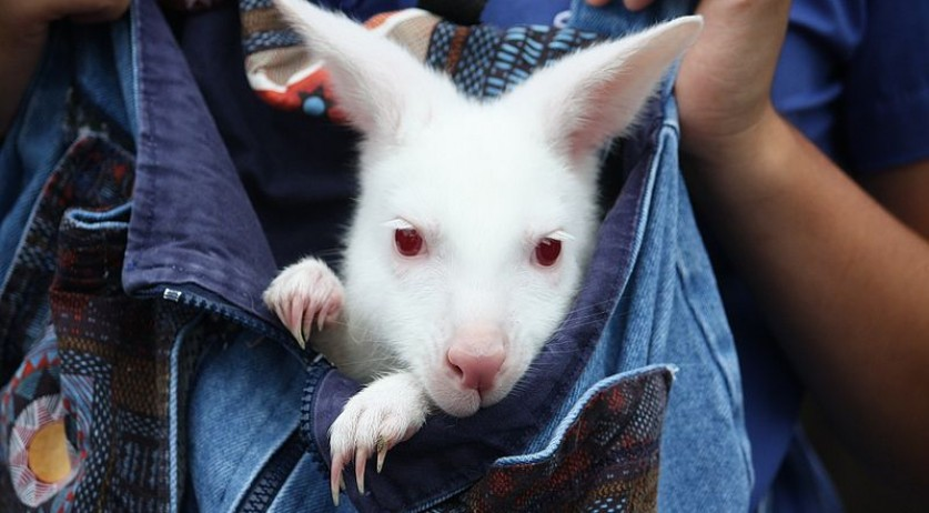 800px-Albino_wallaby_at_the_Columbus_Zoo-2011_07_11_IMG_0776
