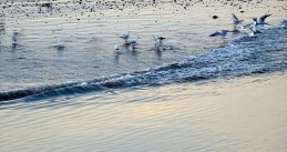 Seagulls in the Wadden Sea