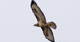 A buzzard in flight
