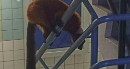 Amsterdam police help recapture an escaped red ruffed lemur and return it to Artis Zoo, 4 Jul 2017