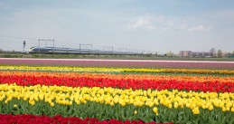 Eurostar train along a field of tulips