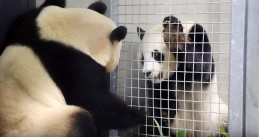 Pandas Wu Wen and Xing Ya meet each other for the first time, 28 March 2018