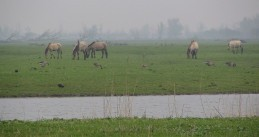 Horses and geese in Oostvaardersplassen near Lelystad