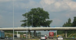 Oak tree in the middle of the A58 highway at Ulvenhout
