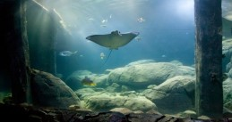 Spotted eagle ray at Burgers' Zoo