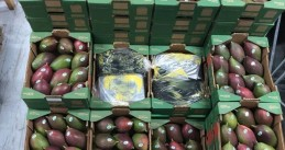 1,500 kilos of cocaine found hidden in a mangoes shipment at the port of Rotterdam, 13 Feb 2019