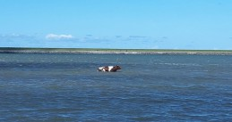 Cow in the Wadden Sea off the coast of Ameland, 28 May 2019