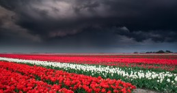 Storm clouds gather over a tulip field