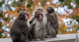Female-female couples in Japanese macaque groups