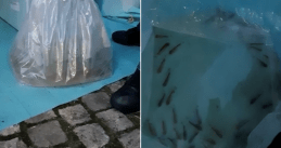 Liquid cocaine found hidden in a shipment of live fish that arrived at Schiphol, 4 Sept 2019