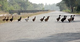 Ducks crossing a street