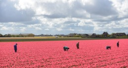 People working a tulip field in the Netherlands