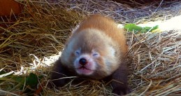 Baby red panda born at Beekse Bergen, July 2020