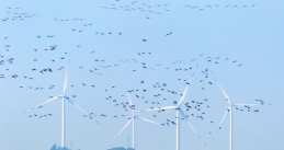 Windfarm and migratory birds