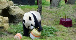 Giant panda Xing Ya with his birthday cake at Ouwehands Zoo, 8 Aug 2017