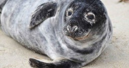 800px-Grey_seal_animal_halichoerus_grypus