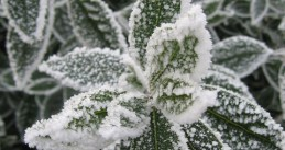 Frost_on_Bay_Tree_Leaves_-_geograph.org.uk_-_431574